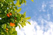 Orangenbaum am Via Verde in Denia